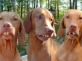 real_tennessee_hunting_dogs